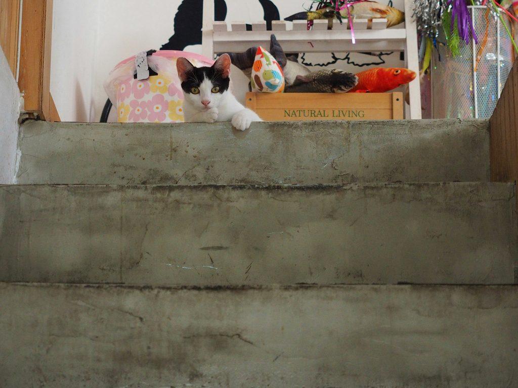 고양이가 계단 위에서 아래를 내려다보고 있다.