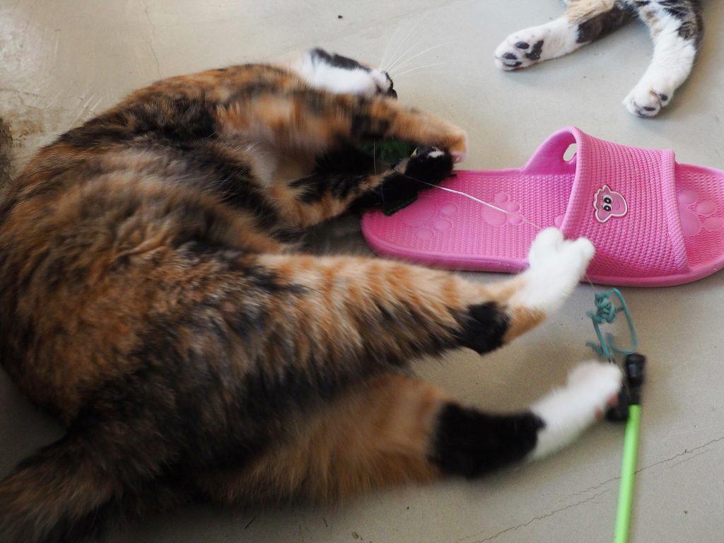 3색 얼룩 고양이가 장난감을 가지고 놀고 있다.