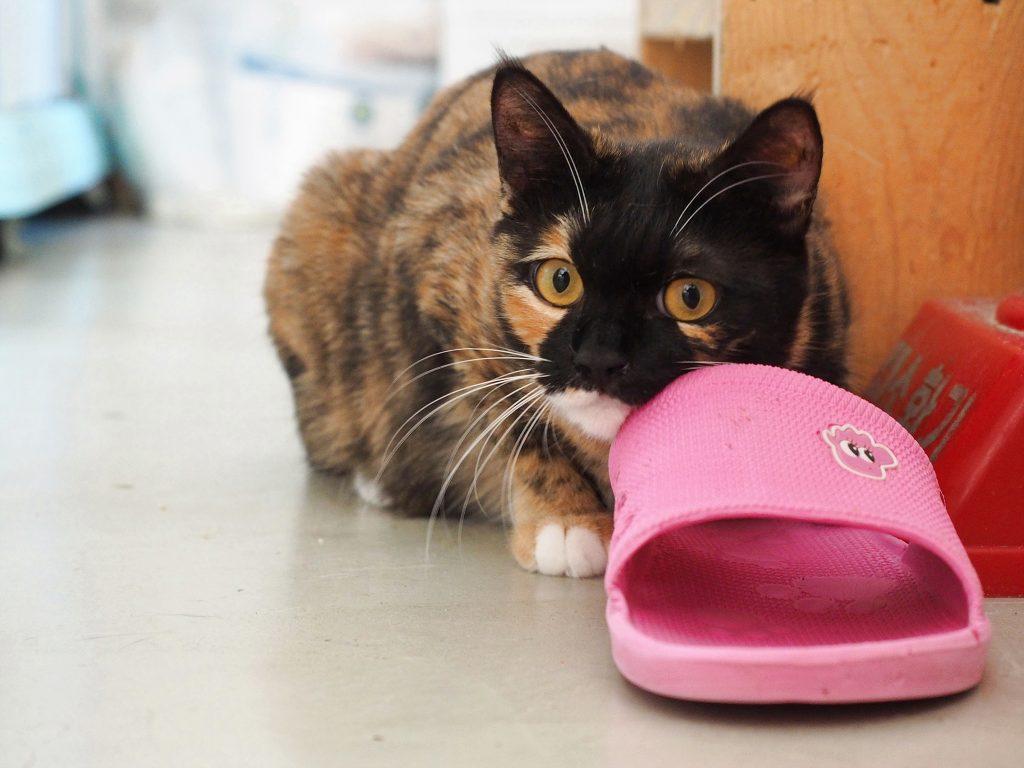 3색 얼룩 고양이가 몸을 낮추고 이쪽을 바라보고 있다.